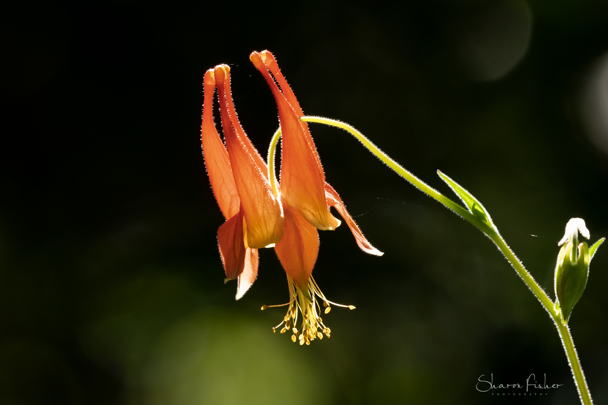 Picture of Columbine flower